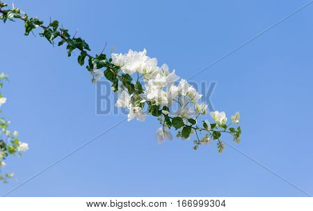 white bougainvillea flowers on a background of blue sky