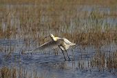 Picture of a spoonbill taking off from a lake. poster