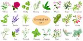 Big vector set of popular essential oil plants. Rose, Geranium, lavender, mint, melissa, Chamomile, cedar, pine, juniper, rosehip etc. For cosmetics, store, spa, health care, aromatherapy, homeopathy. poster