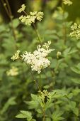 Filipendula ulmaria, commonly known as meadowsweet or mead wort. This plant contains salicylic acid (the basis of aspirin). poster