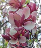 Tender pink white magnolia buds on branch poster