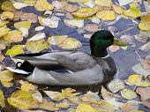 mallard duck floating on tranquil water filled with autumn leaves. ** Note: Shallow depth of field poster