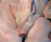Piglets asleep in a pile under a warming lamp in the barn. poster