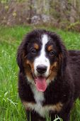 Portrait of the puppy Bernese mountain dog on walk. poster