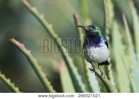 White-bellied Sunbird Sitting On The Green Leaves Of An Aloe In The Sun