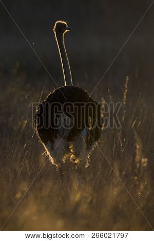 Lone Male Ostrich At Sunset With Rim Lighting In Long Grass