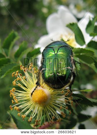 Green shiny bug on a rose flower poster