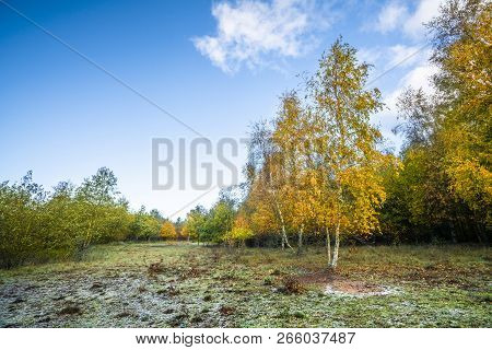 Autumn Colors On Birch Trees Under A Blue Sky In The Fall In Beautiful Yellow Colors
