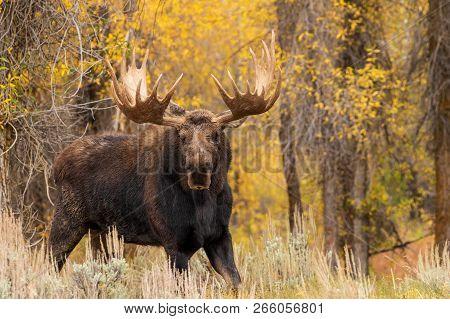 A Shiras Moose Bull In Autumn In Wyoming