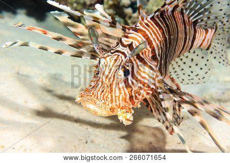 Portrait Of A Devil Firefish. Lionfish. Red Sea.