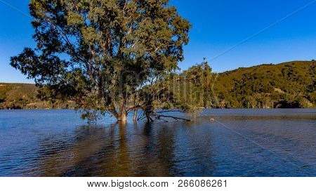 A Large Tree Partially Submerged In The Lexinton Reservoir Near Los Gatos.