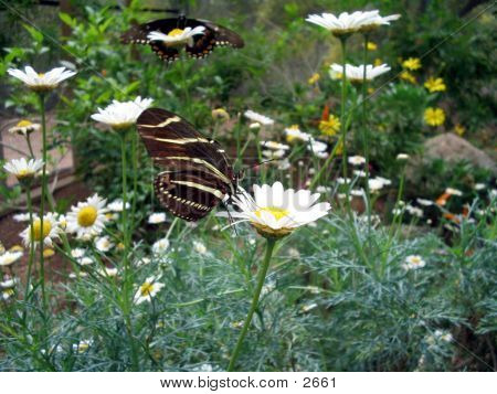 Black Butterfly On A Daisy