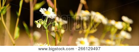 Beautiful Camomile Flowers In The Wild Nature