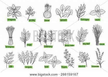 Popular Culinary Herbs, Hand Drawn Vector Illustration. Bay Leaf, Lemongrass, Fennel, Dill, Cilantro