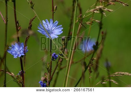 Chicory Flowers On Meadow. Blooming Flowers. Chicory Flowers On A Green Grass. Meadow With Chicory F