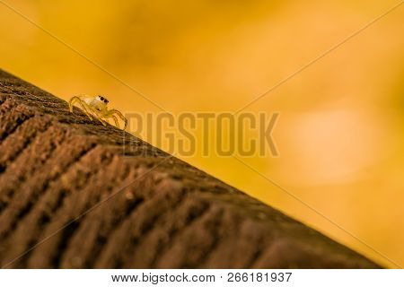 Closeup of jumping spider with translucent body on square wooden post looking toward camera. poster