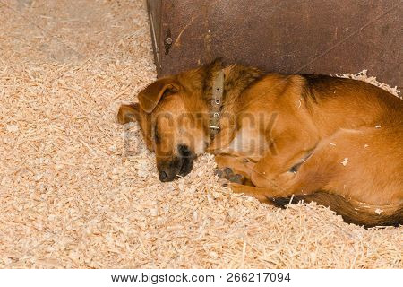 Red dog sleeps on sawdust. The dog is sleeping. The redhead puppy sleeps sweetly. Puppy. poster
