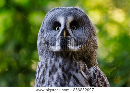 Portrait Of Adult Male Great Grey Owl (strix Nebulosa). Photography Of Nature And Wildlife.