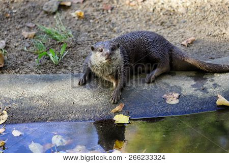 Portrait Of Pigmy Adult Eurasian Otter (lutra Lutra). Photography Of Nature And Wildlife.