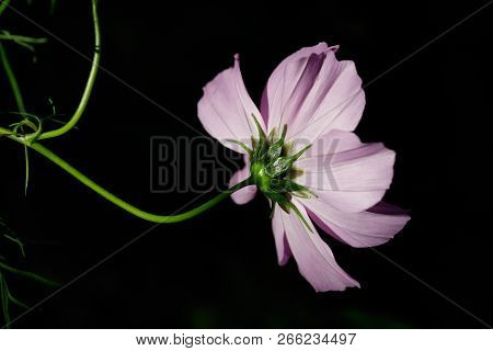 Close-up Of Pink Mexican Aster (cosmos Bipinnatus) Flower On The Black Background. Macro Photography