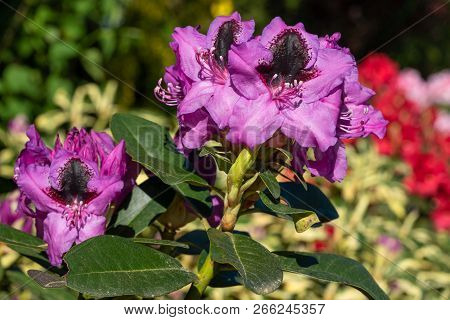 Rhododendron Hybrid (rhododendron Hybrid), Close Up Of The Flower Head In Sunshine