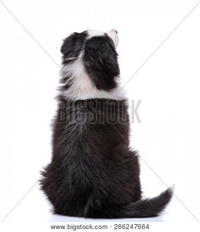 Beautiful happy Australian shepherd puppy dog sitting and looking upward, isolated on white background - back view