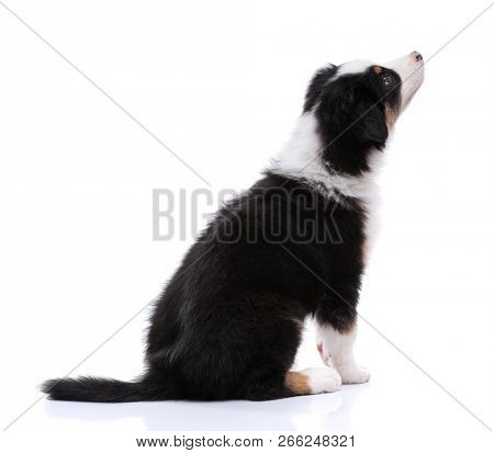 Australian Shepherd purebred puppy, 2 months old sitting on floor and looking away. Black Tri color Aussie dog, isolated on white background - back view