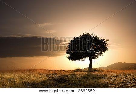 solitary oak tree in golden sunset poster