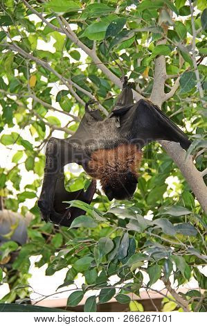 Bats (microchiroptera) Resting During The Day. Almost All Bats Are Nocturnal, And Sleep During The D