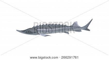 Gray Atlantic Sturgeon. Predatory Fish. Marine Fauna. Sea And Ocean Life Theme. Flat Vector Design