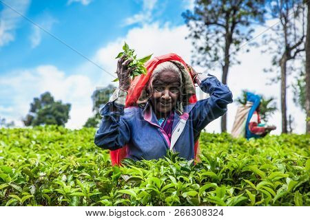ELLA, SRI LANKA - DEC 26, 2016: Old age female tea-picker picks up the fresh tea leaves in Ella town on Dec 26, 2016, Uva Province, Sri Lanka