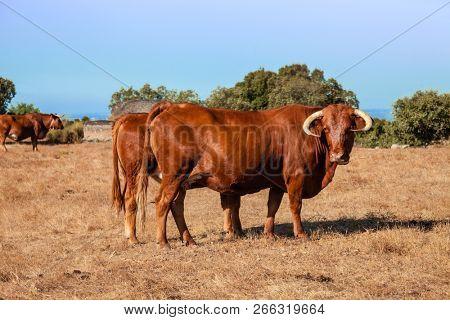 Cows of the Alentejana Breed or Raca Alentejana in the Alto Alentejo landscape. Portalegre, Portugal