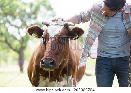 Male farmer checking on his herd and rubbing a healthy organic cow on a farm