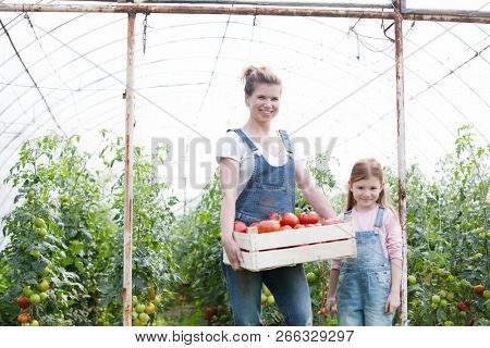 Attractive young female farmer and her young daughter picking  organic healthy red juicy tomatoes from her green house; concept small business