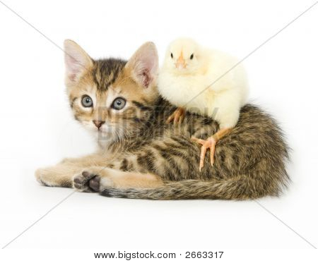 Kitten And Baby Chick