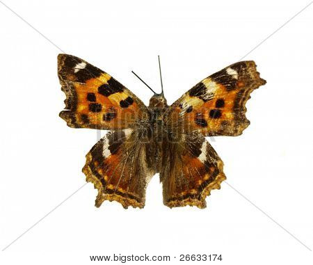 Orange butterfly with black and white dots