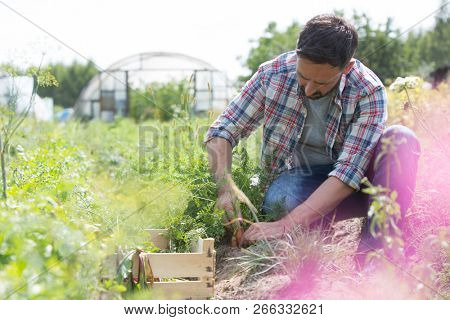 Attractive male farmer harvesting carrots on his organic farm with greenhouse in background