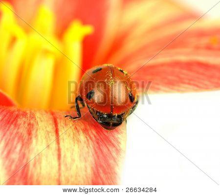 Ladybug on blossom of tulip isolated on white background poster