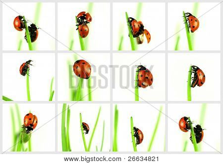 Ladybugs collection