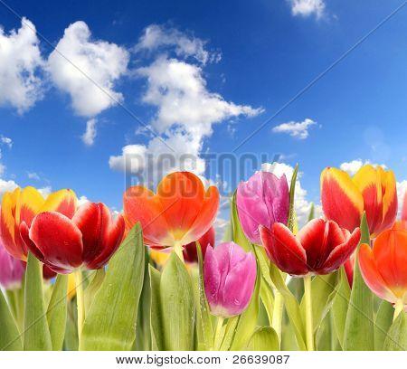 Tulipes printanière avec ciel