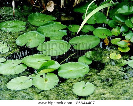 Pond with lilies background
