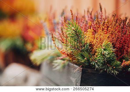 Bush Of Colorful Calluna Plants In Woodem Box In Garden.