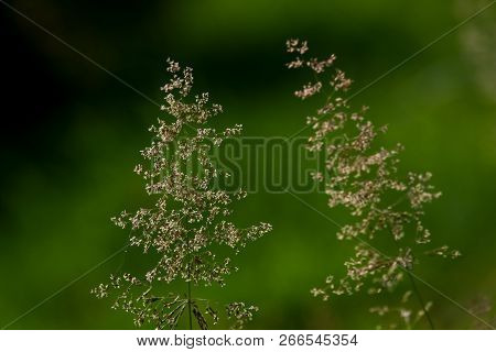 Bent On A Green Grass. Meadow With Two Bent. Wild Grass. Nature Meadow. Background Of Bent On Field.