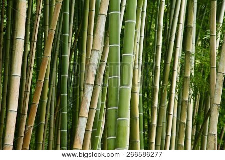 New Green Smooth Bamboo With Older Bamboo Behind