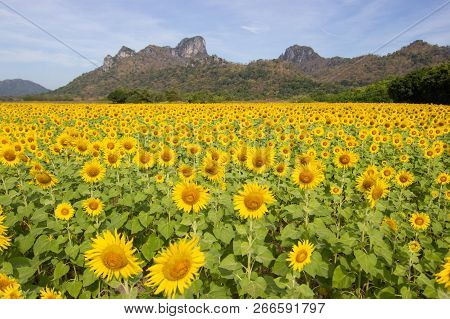 Closeup Beautiful Of A Sunflower Or Helianthus In Sunflower Field, Bright Yellow Sunflower Lopburi,