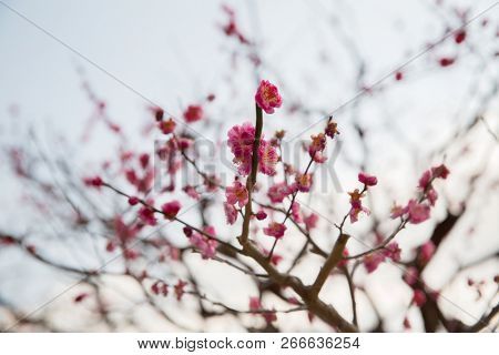 nature, botany, gardening and flora concept - close up of beautiful sakura tree blossoms poster