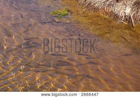 Baby Trout Fish