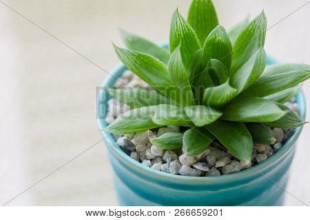 Close Up Succulent In Ceramic Pot On Table.