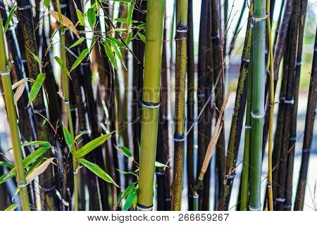 Brown Thinning Sick Bamboo Patch With Dead Leaves
