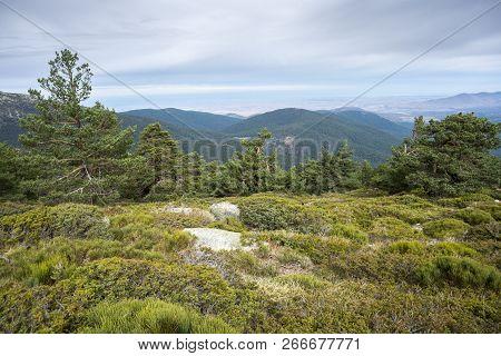 Scots Pine Forest And Padded Brushwood (cytisus Oromediterraneus And Juniperus Communis) In Siete Pi
